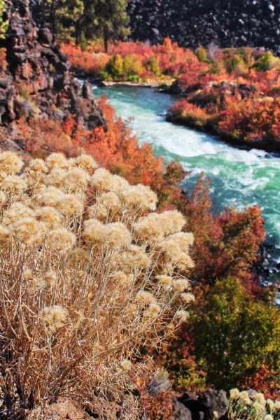 Fall flowers on Deschutes River at Dillon Falls Deschutes National Forest Bend Oregon 12