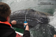Grey Whale in Magdelena Bay Baja California Sur Mexico Adventures in Baja 1