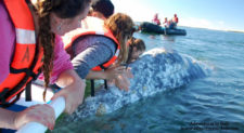 Grey Whale in Magdelena Bay Baja California Sur Mexico Adventures in Baja 2