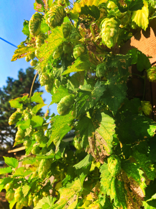 Hops at CHOW breakfast restaurant Bend Oregon 1