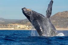 Humpback Whale breaching Baja California Sur Mexico Adventures in Baja 2