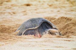 Leatherback Sea Turtle laying eggs on Solmar Beach Cabo San Lucas BCS Mexico 8