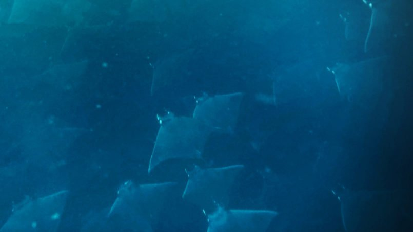 School of mobula rays from above Pelagic Safari Cabo San Lucas Mexico 2