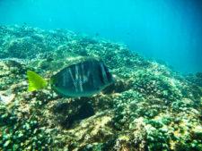 Surgeon Fish snorkeling Cabo San Lucas Mexico 1