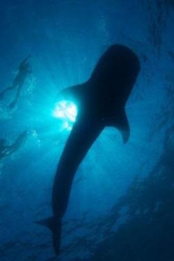 Whale Shark in La Paz Baja California Mexico Adventures in Baja 1