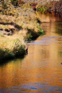 Great Blue Heron in Smith Rock State Park 4