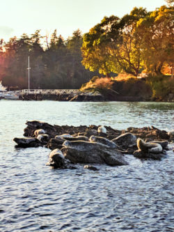 Harbor Seals and Rocky island Ecocruising with Sidney Harbor Tours Sidney BC 1