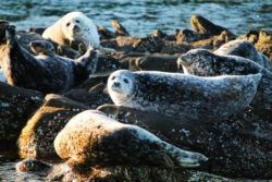 Harbor Seals and Rocky island Ecocruising with Sidney Harbor Tours Sidney BC 16