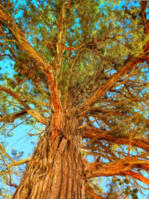 Ponderosa Pine at Smith Rock State Park Terrabonne Oregon 4