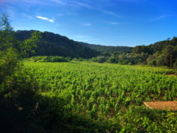 Vineyard in Mljet National Park Polace Pride Sailing Holidays Isle of Miljet Croatia 1