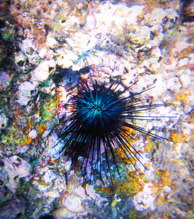 Colorful sea urchin at Cannery Beach Cabo San Lucas