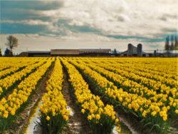 Daffodil fields in La Conner Washington, Skagit Valley