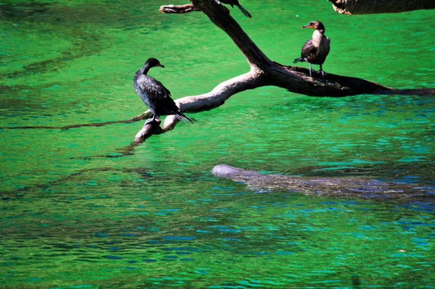 Anihinga and Manatees at Headspring area of Blue Spring State Park Central Florida 4