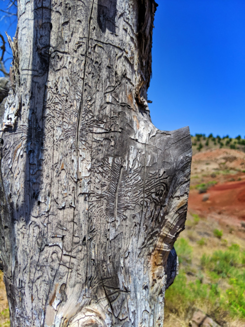 Beetle Gallery carving in Juniper Tree at Red Scar Knot trail Painted Hills John Day Fossil Beds NM Oregon 2