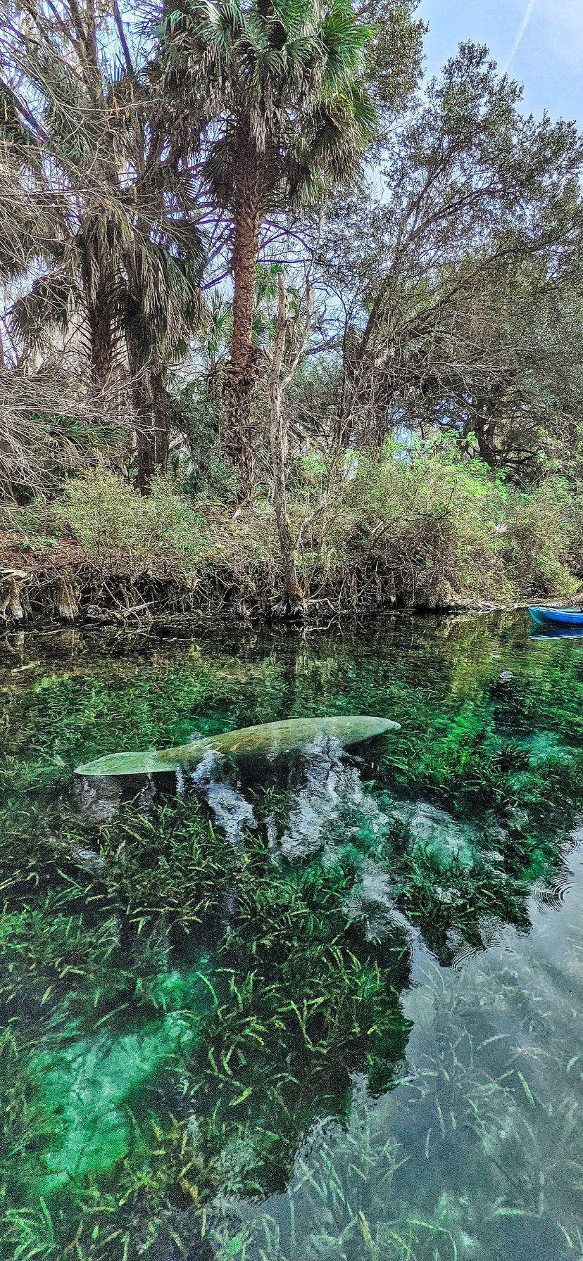 Best Florida Springs for Manatees at Silver Springs State Park