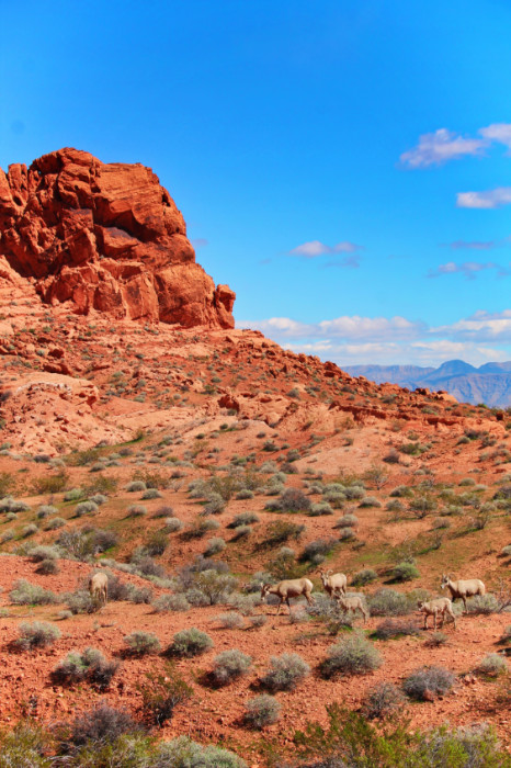 Bighorn Sheep at Valley of Fire State Park Las Vegas Nevada 15