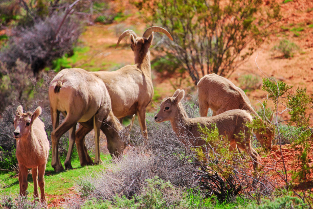 Bighorn Sheep at Valley of Fire State Park Las Vegas Nevada 8