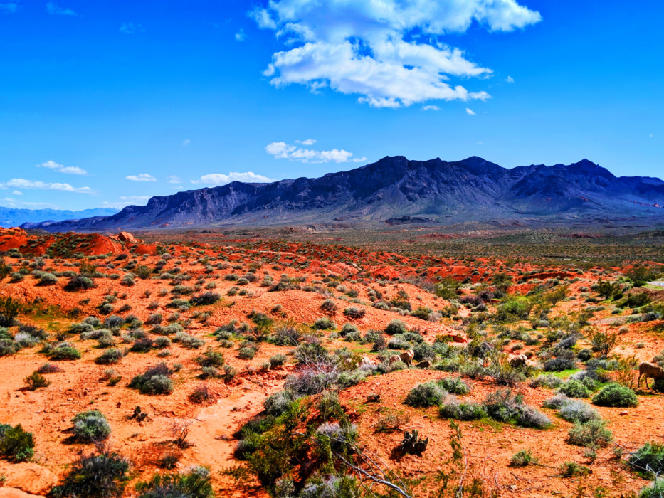 Bighorn-Sheep-in-Valley-of-Fire-State-Park-Las-Vegas-Nevada-2.jpg