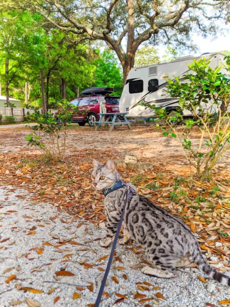 Bijoux Bengal Cat exploring Gulf Shores KOA Alabama Cross Country Move 2020 2