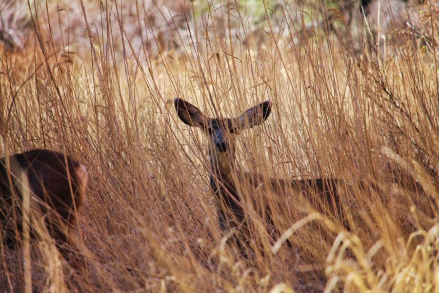 Black tailed dear at Big Bend Zion National Park Utah 2