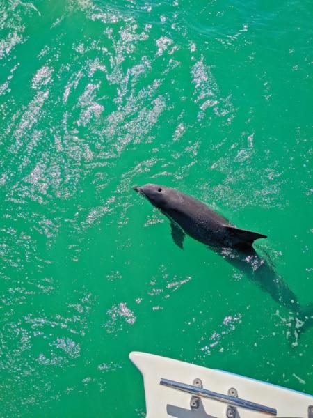 Bottlenose Dolphin in Key West National Wildlife Refuge Florida Keys 2020 4