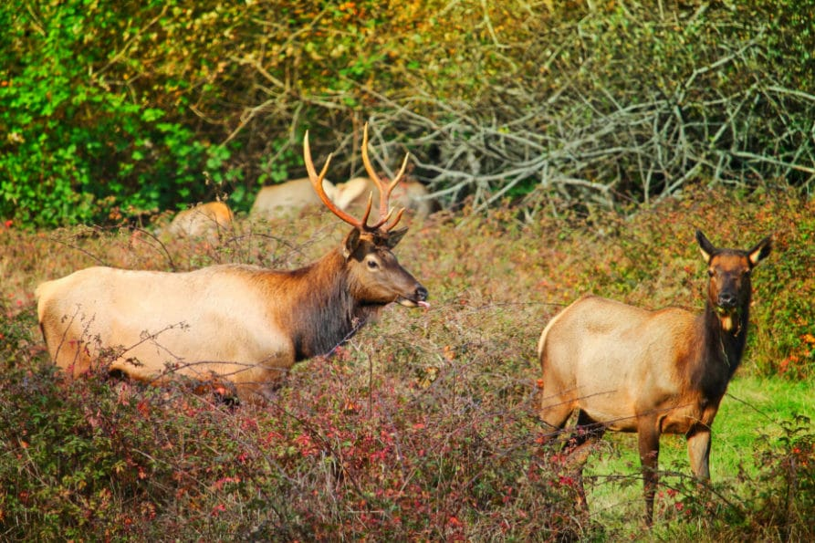 Bull Elk Hoh Rainforest Olympic National Park 5
