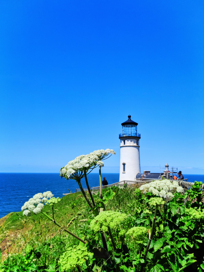 Cow Parsnip at North Head lighthouse trail Cape Disappointment State Park Ilwaco Washington 1