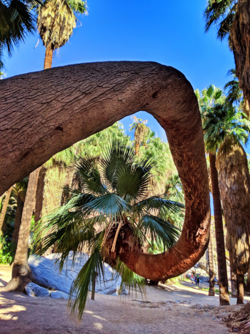 Curved palm at Indian Canyons at Aguas Calientes Palm Springs 2