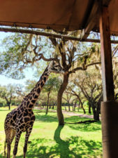 Giraffe on Kilimanjaro Safari Africa Disneys Animal Kingdom Disney World Orlando Florida 1