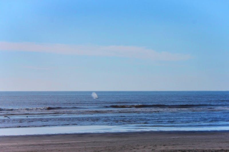Gray Whale off shore at Long Beach Peninsula Washington 1