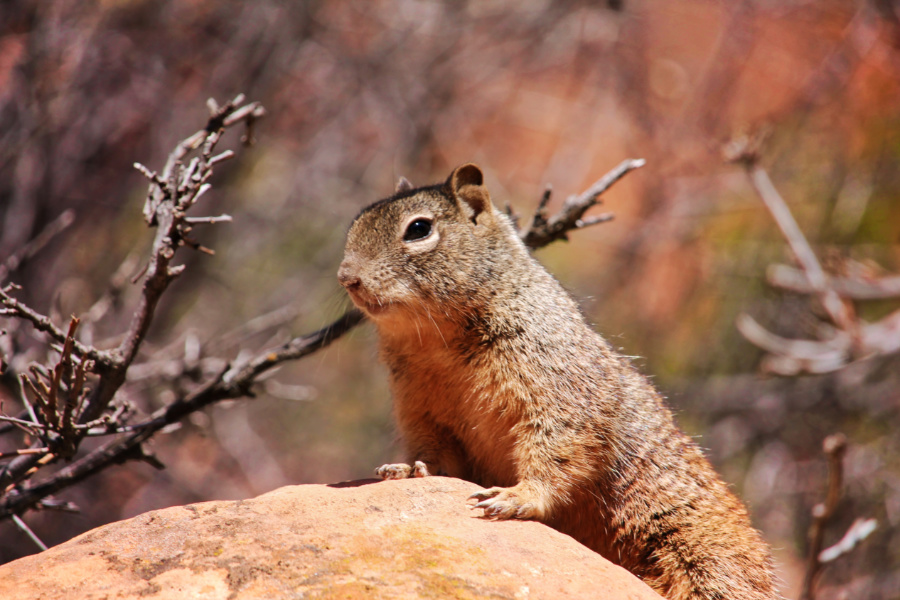Ground squirrel in Zion National Park Utah 1