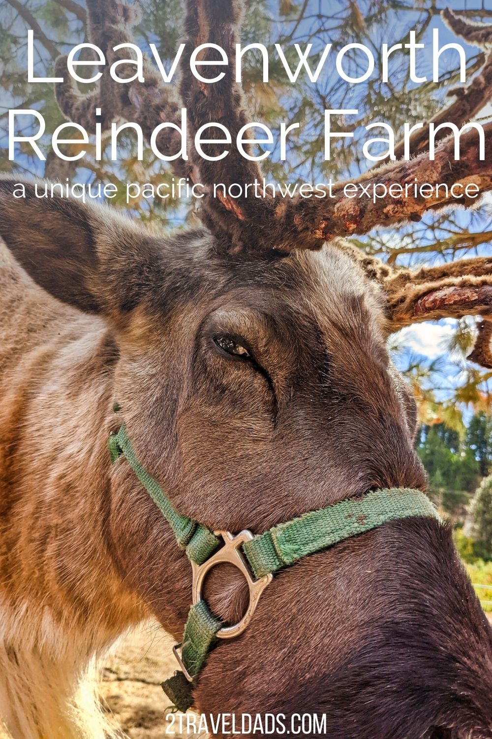 The Leavenworth Reindeer Farm is one of the best things to do when visiting Washington's Bavarian village. See what to expect and things to do and then plan a visit to this unique Pacific Northwest farm.