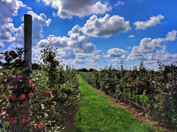 Honeycrisp Apples at orchard outside Rochester New York 2