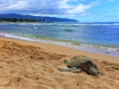 Honu on beach at Laniakea Beach North Shore Oahu Hawaii 1