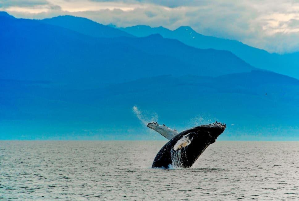Humpback whale breach off Friday Harbor San Juan Islands