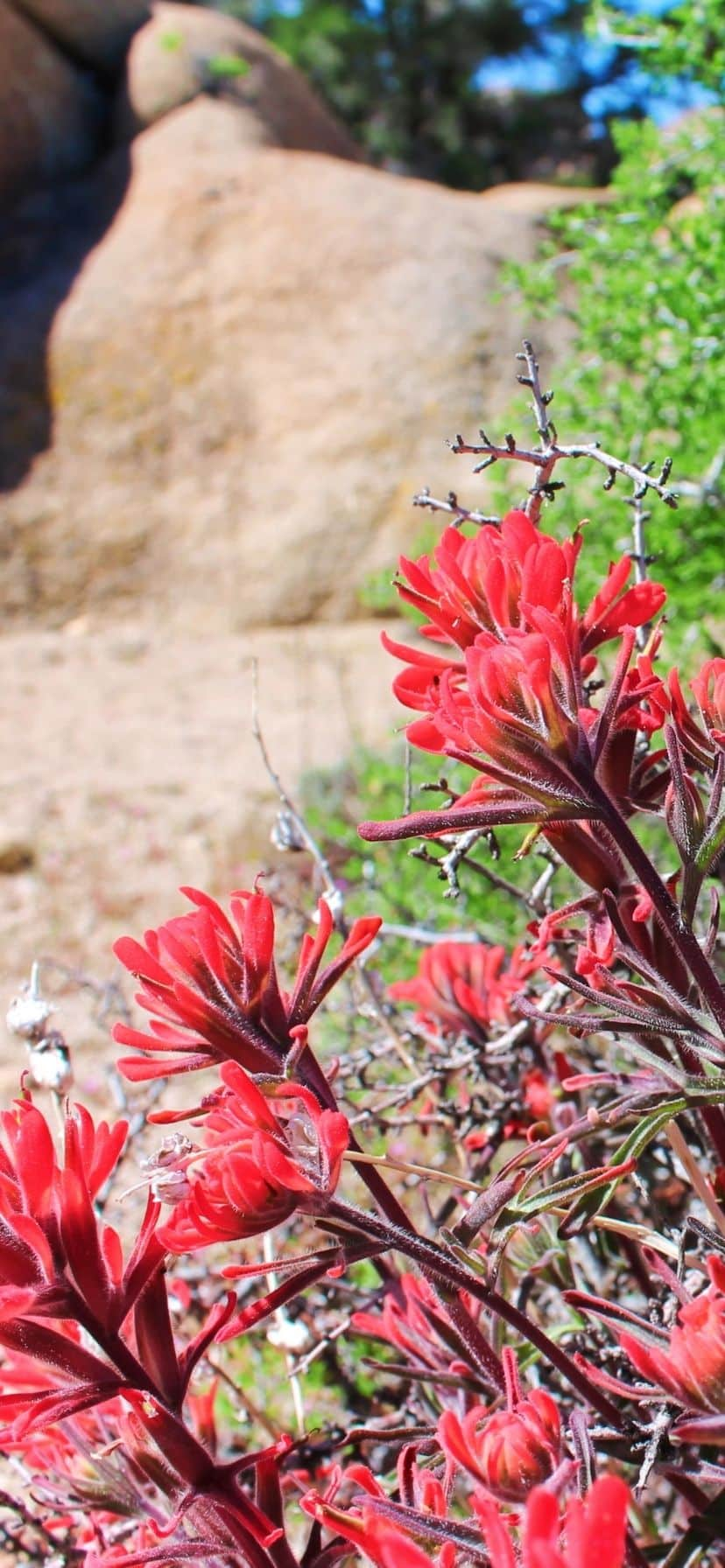 Indian Paintbrush at Joshua Tree National Park Super Bloom
