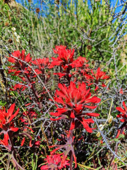 Indian Paintbrush in superbloom Joshua Tree National Park California 1