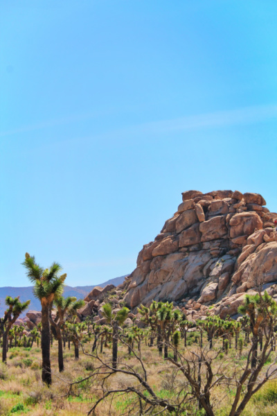 Joshua Trees growing at Cap Rock Joshua Tree National Park California 2