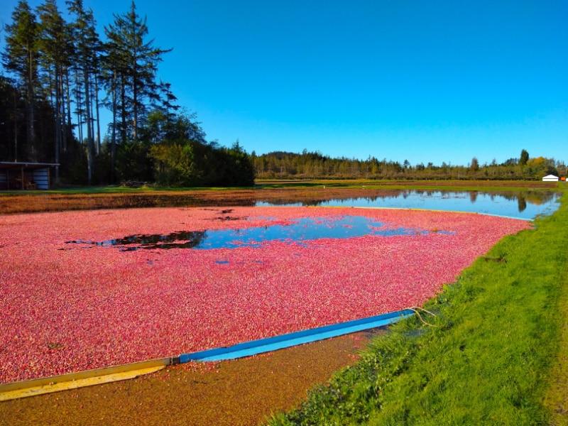 Long Beach Peninsula Cranberry Harvest Ordinary Adventures 1