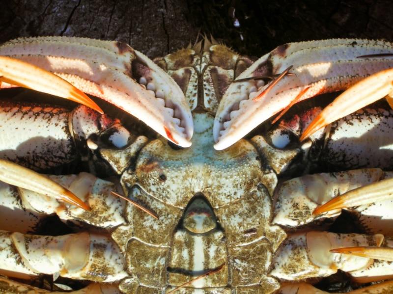 Male-Dungeness-Crab-Willapa-Bay-Crabbing-Long-Beach-Peninsula-2