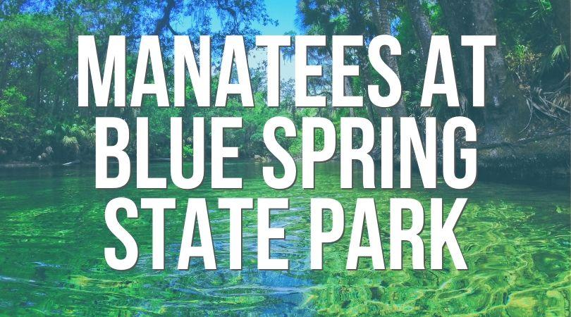 Manatees at Blue Spring State Park Landing