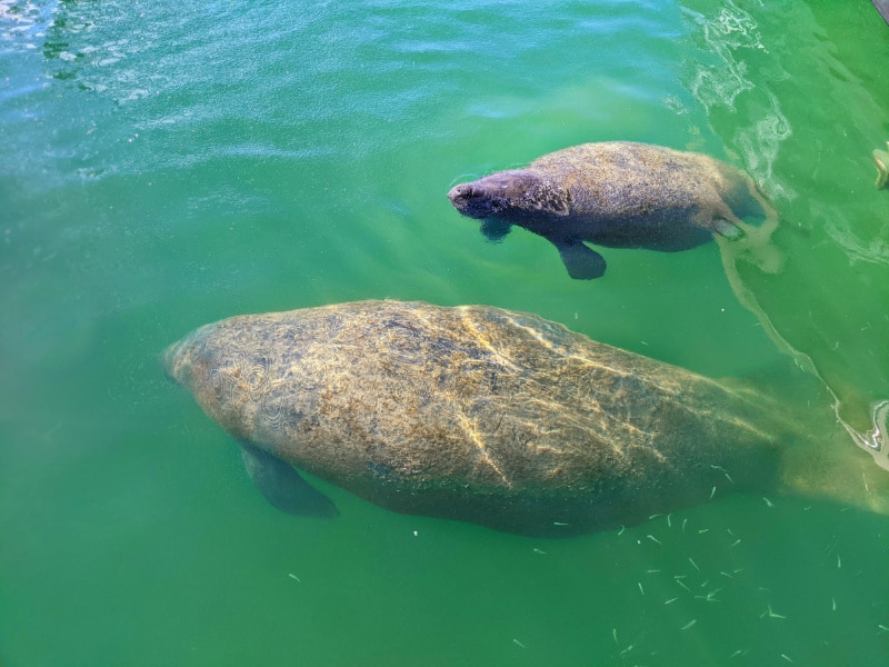 Manatees in Marina at Marathon Key Florida Keys 2020 4