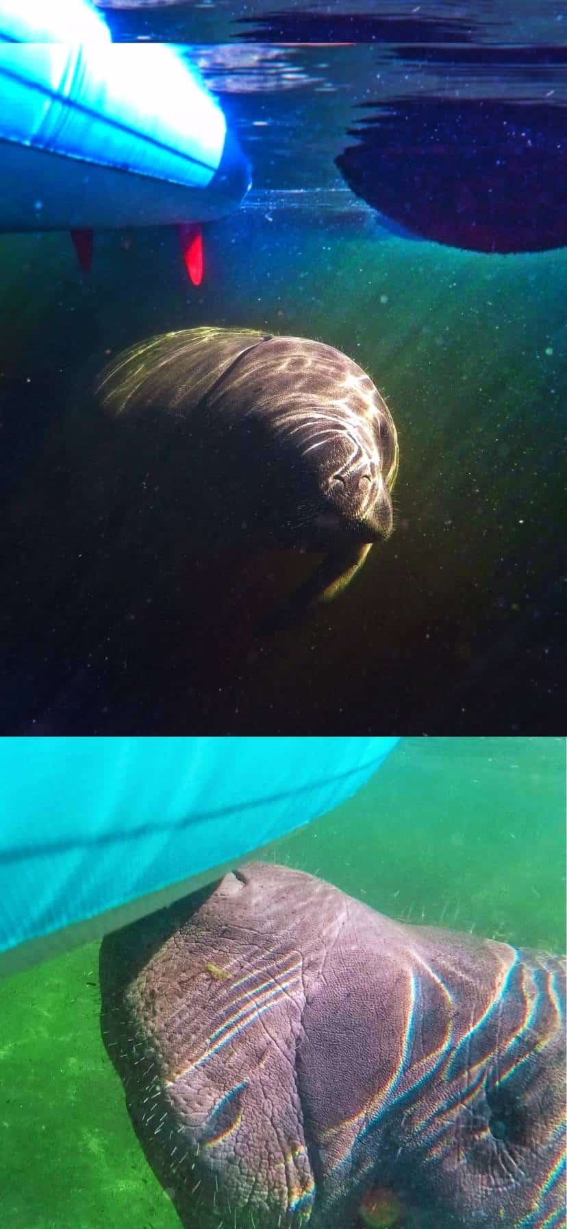Manatees underwater at Blue Spring State Park Florida