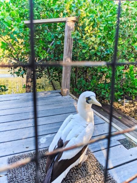 Masked Boobie at Laura Quinn Wild Bird Sanctuary Key Largo Florida Keys 2020 1