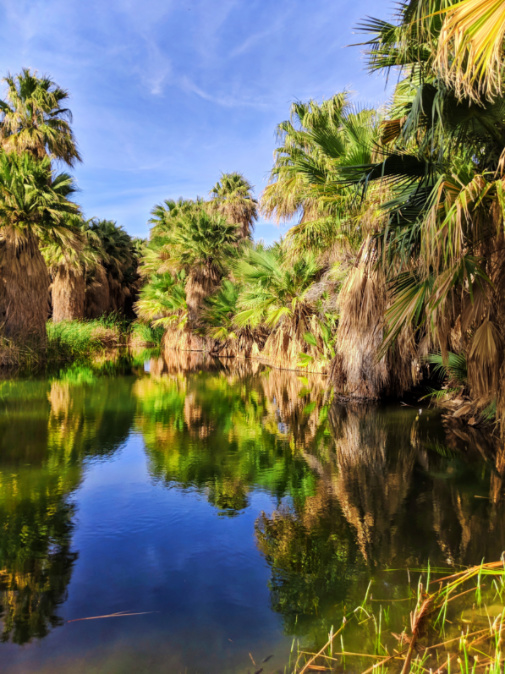 McCallum Pond palm reflection at Coachella Valley Nature Preserve Palm Oasis California 3