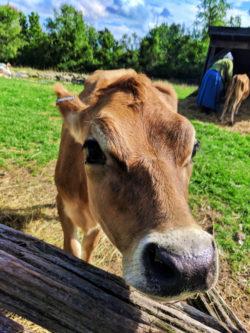 Milk Cow at Genesee Village Rochester New York 1