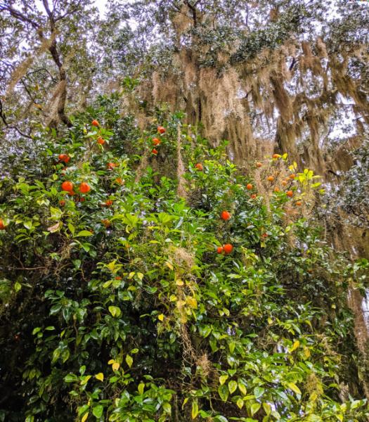 Orange Trees at Fort Frederica National Monument St Simons Island Georgia 1