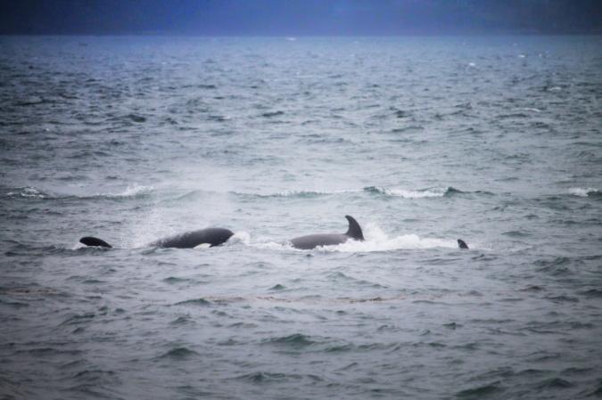Orcas in Haro Strait off Victoria BC 1