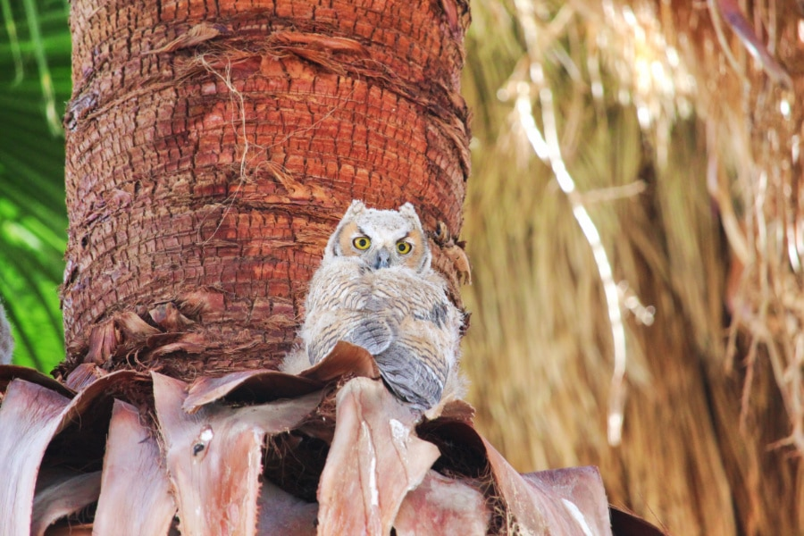 Owls in trees at Coachella Valley Nature Preserve Palm Oasis California 7