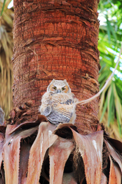Owls in trees at Coachella Valley Nature Preserve Palm Oasis California 8